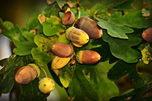 acorns on branches